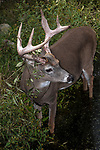 White-tailed Deer buck standing in aquatic vegetation near edge of pond looking right, vertical