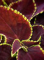 Chocolate Symphony Coleus. Coleus versa lime.