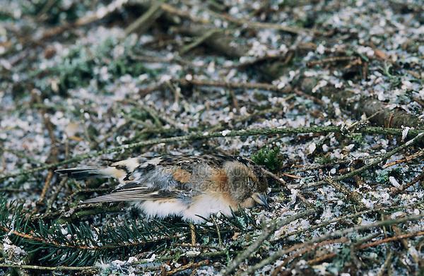 Brambling, Fringilla montifringilla, dead finch at roosting place of 5 Million Finches, Bern, Switzerland, January 1998