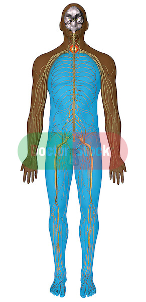 Male figure showing spinal cord injury at the level of C7 and paralysis from that point down