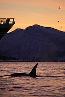 Killer whale, Orcinus orca, Adult male approaching ships bow at dawn, Tysfjord, Arctic Norway, North Atlantic