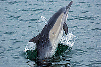 short beaked common dolphin, delphinus delphis, breaching, Monterey Bay National Marine Sanctuary, California, East Pacific Ocean