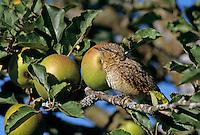 Eurasian Wryneck, Jynx torquilla, adult in Apple Tree, Oberaegeri, Switzerland, Europe