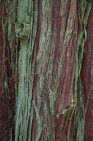 Mossy Bark on Western Red Cedar (Thuja plicata) Tree, Stuart Island, Washington, US