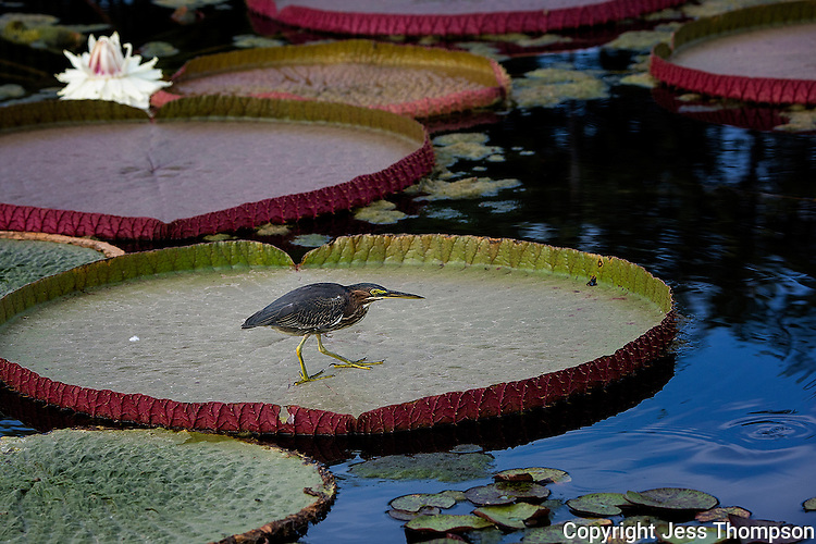 Green Heron walking on Lily Pad, International Waterlily Collection San Angelo, Texas