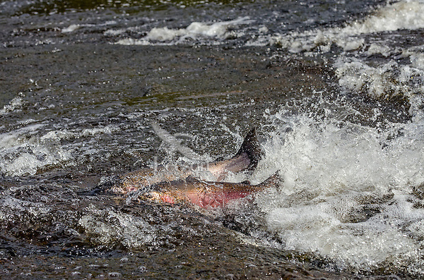 Two coho or silver salmon (Oncorhynchus kisutch) on fall spawning migration swimming up shallow river.  Pacific Northwest.  October.  Wild fish not hatchery fish.