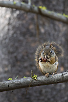 A squirrel feasts on a pinecone in autumn.