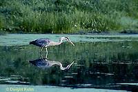 HN01-013z  Great Blue Heron - in pond in Maine - Ardea herodias