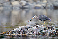 A Great blue heron catches a fish.