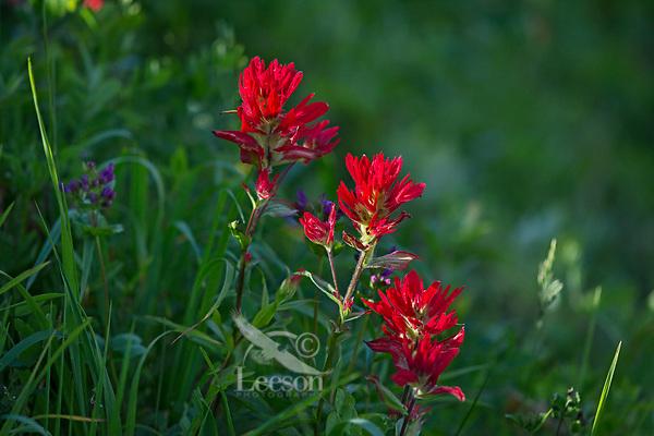 Common Paintbrush (Castilleja miniata)--wildflower, Olympic National Park, WA.  Summer.
