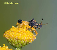 AM01-642z  Ambush Bug, male on tansey flowers, Phymata americana