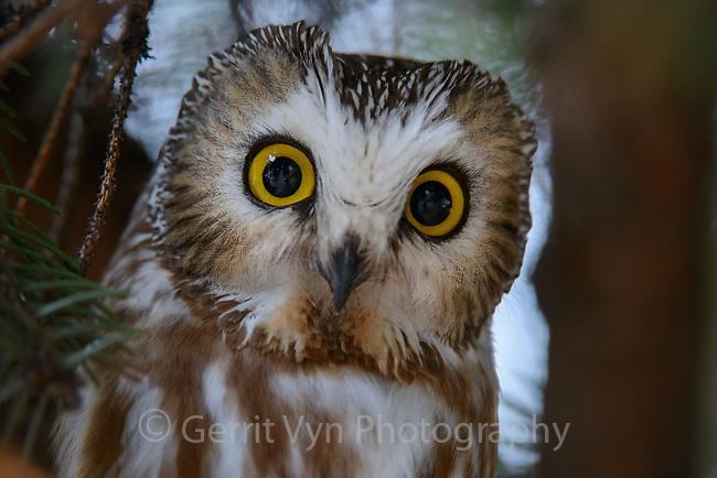 Northern Saw-whet Owl (Aegolius acadicus) roosting. Washington. February.