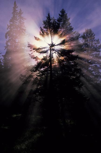 CANADA, ALBERTA, ROCKY MOUNTAINS, JASPER NATIONAL PARK, MALIGNE CANYON, TREE WITH STARBURST AND SUN RAYS
