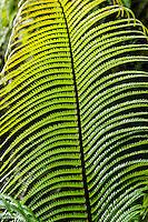 A close-up of a green, sunlit hapu'u fern frond in a Volcano rainforest, Big Island.