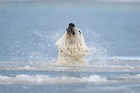 Polar bear shakes off water while swimming in the Beaufort Sea, Arctic, Alaska.