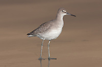 Willet (Catoptrophorus semipalmatus) standing near the surf while searching for food