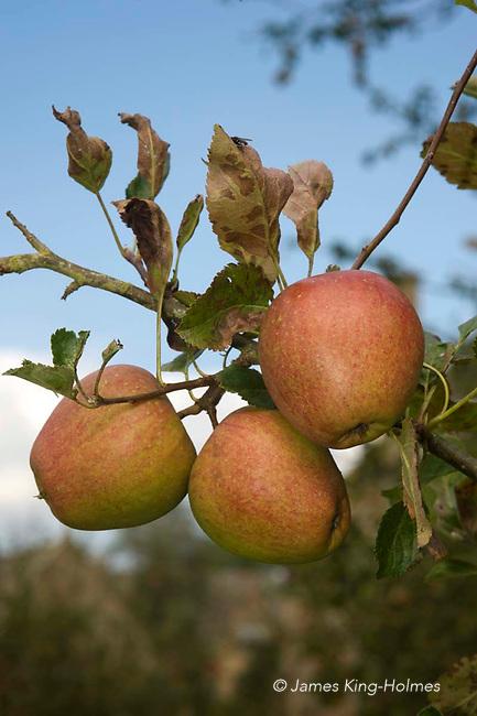 Adam's Pearmain apples. An eating or dessert apple first grown in Enland in 1826