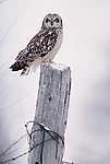 Short-eared owl Asio flammeus on fence post<br />