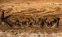 MA20-656z  Little Brown Bats, Myotis lucifugus