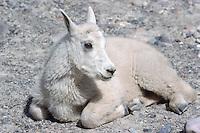 Mountain Goat Kid (Oreamnos americanus), aka Rocky Mountain Goat, resting at Mineral Lick, Kootenay National Park, BC, British Columbia, Canada