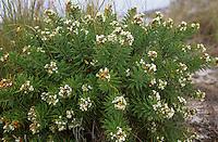 Herbst-Seidelbast, Herbstseidelbast, Seidelbast, Daphne gnidium, Flax-leaved Daphne
