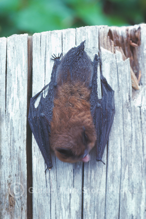 Little Brown Bat (Myotis lucifugus) hanging upside down on Tree Stump, BC, British Columbia, Canada