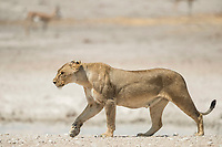 lion, Panthera leo, female, lioness, Etosha National Park, Namibia, Africa