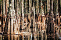 Pond Cypress in spring at Cathedral Bay Heritage Wildlife Preserve