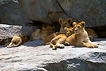 Lion cubs rest in the shade of a kopje during the mid-day heat of the Serengeti in Tanzania.