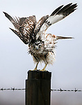A hawk tries to dry out as another winter storm rolls through Northern Nevada, in Gardnerville, Nev. on Friday, Feb. 10, 2017.  <br /> Photo by Cathleen Allison/Nevada Photo Source