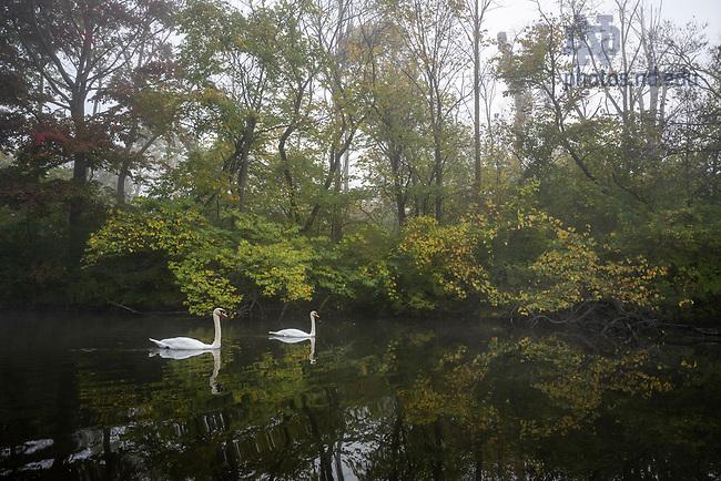 October 13, 2021; Swans swim on St. Mary's Lake in morning fog. (Photo by Barbara Johnston/University of Notre Dame)