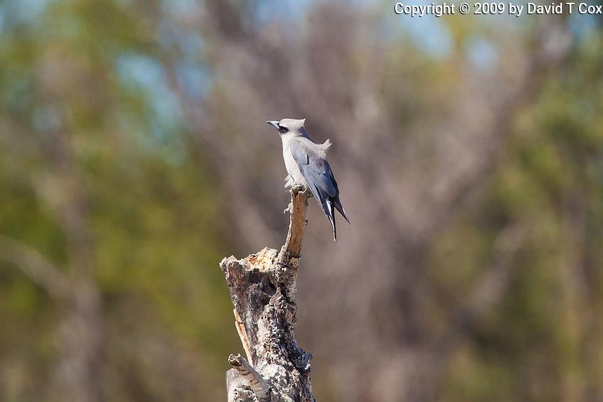 White-Bellied Cuckoo-Shrike, near Normanton, Queensland, Australia