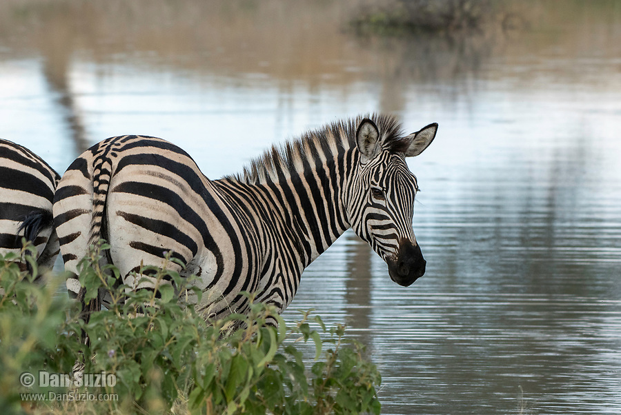 Grant's Zebras, Equus quagga boehmi, at a pond in Tarangire National Park, Tanzania