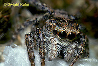 SI10-002z  Jumping Spider - protecting egg case - Sitticus palustris