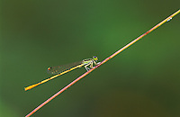 Citrine Forktail, Ischnura hastata, male, Willacy County, Rio Grande Valley, Texas, USA, May 2004