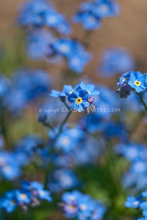 Myosotis scorpioides Forget me not blue flowers