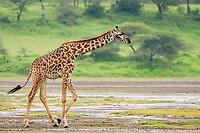 Masai giraffe (Giraffa camelopardalis tippelskirchii), Ndutu, Ngorongoro Conservation Area, Serengeti, Tanzania, Africa
