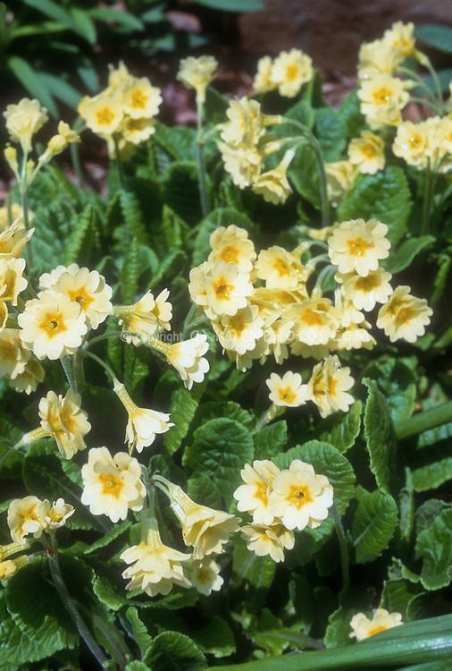 Primula elatior 'Hose in Hose' (Polyanthus type primroses, oxslip) in yellow flowers