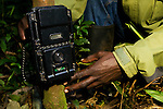 African Golden Cat (Caracal aurata aurata) researcher, Sam Isoke, placing camera trap on tree, Kibale National Park, western Uganda