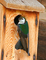 Adult male violet-green swallow