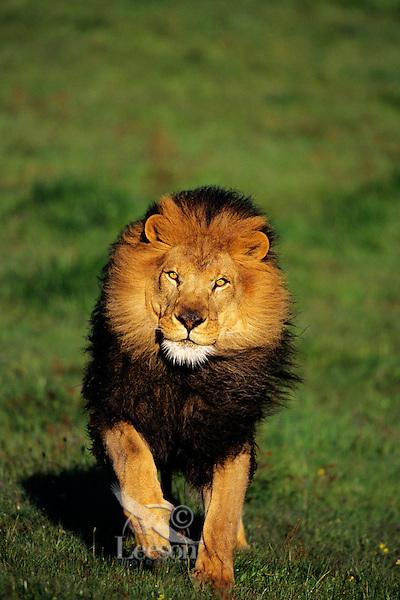 African lion (Panthera leo) male running.