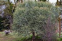 Euphorbia tree; Fullerton Arboretum, Southern California