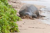 Hawaiian monk seal, Neomonachus schauinslandi, Critically Endangered endemic species, adult female resting on beach buries head in sand, Canoe Beach, Kaanapali, Maui, USA, Pacific Ocean