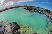 Honu, Hawaiian Green Sea Turtle, Chelonia mydas, Kiholo Bay fish ponds, South Kohala coast, The Big Island of Hawaii