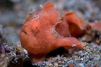 Painted Frogfish (Antennarius pictus) resting on sand in the Lembeh Strait