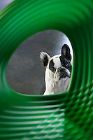 A pet dog with a rather sad expression is seen through an opening in the back of a green plastic chair.