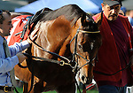 09 August 1: Saratoga Sinner prior to the 46th running of the grade 2 Jim Dandy Stakes for three year olds at Saratoga Race Track in Saratoga Springs, New York.