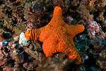 A cushion starfish off Raoul Island, Kermadecs.