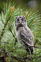 Great Gray Owl (Strix nebulosa) fedgling on its first day out of the nest. Jackson County, Oregon.