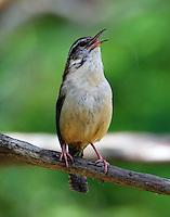 Carolina wren singing